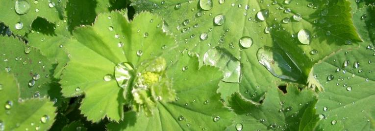 Alchemilla 'Lady's Mantle' banner photo